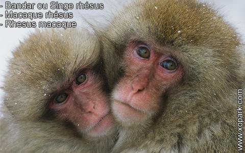 bandar-ou-singe-rhesus-macaque-rhesus-rhesus-macaque-xopark5