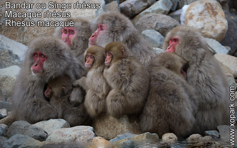 bandar-ou-singe-rhesus-macaque-rhesus-rhesus-macaque-xopark6