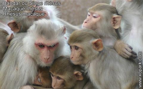 bandar-ou-singe-rhesus-macaque-rhesus-rhesus-macaque-xopark7