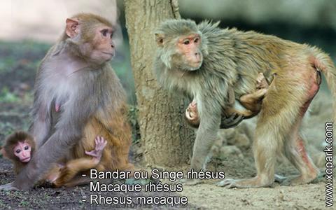 bandar-ou-singe-rhesus-macaque-rhesus-rhesus-macaque-xopark8