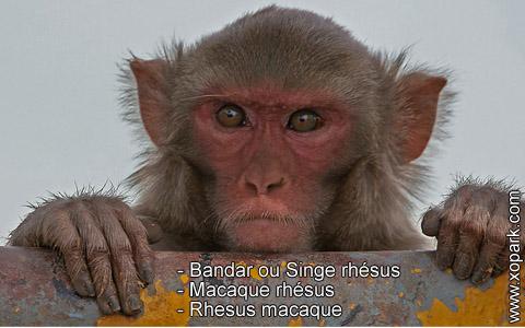 bandar-ou-singe-rhesus-macaque-rhesus-rhesus-macaque-xopark9