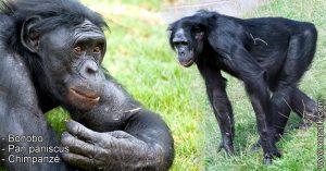 Bonobo - Pan paniscus - Chimpanzé - xopark