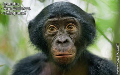 bonobo-pan-paniscus-chimpanze-xopark1