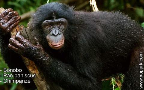 bonobo-pan-paniscus-chimpanze-xopark10