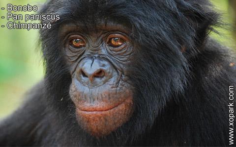 bonobo-pan-paniscus-chimpanze-xopark2