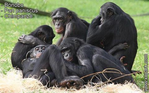 bonobo-pan-paniscus-chimpanze-xopark3