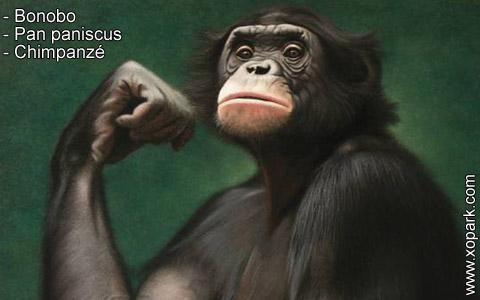 bonobo-pan-paniscus-chimpanze-xopark4