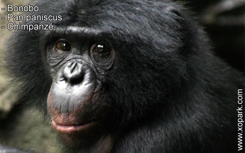 bonobo-pan-paniscus-chimpanze-xopark5