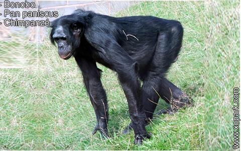 bonobo-pan-paniscus-chimpanze-xopark6