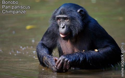 bonobo-pan-paniscus-chimpanze-xopark7