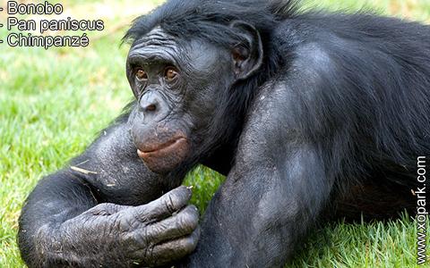 bonobo-pan-paniscus-chimpanze-xopark8