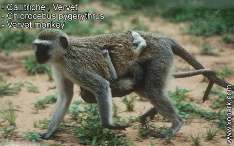 callitriche-vervet-chlorocebus-pygerythrus-vervet-monkey-xopark10