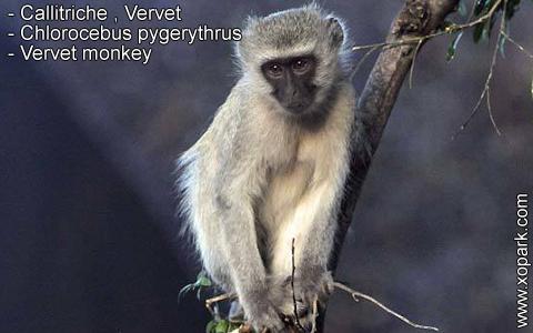 callitriche-vervet-chlorocebus-pygerythrus-vervet-monkey-xopark2