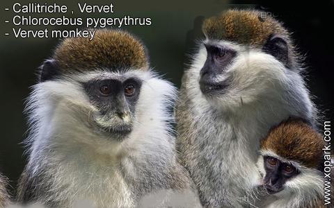 callitriche-vervet-chlorocebus-pygerythrus-vervet-monkey-xopark5