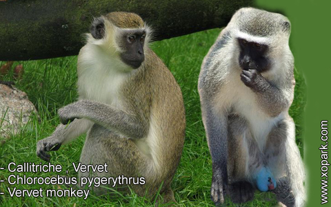 callitriche-vervet-chlorocebus-pygerythrus-vervet-monkey-xopark6