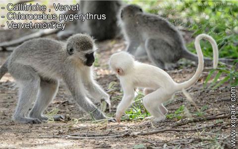 callitriche-vervet-chlorocebus-pygerythrus-vervet-monkey-xopark8