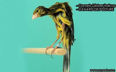 Canaris Gibber italicus – CANARIS DE POSTURE – xopark4