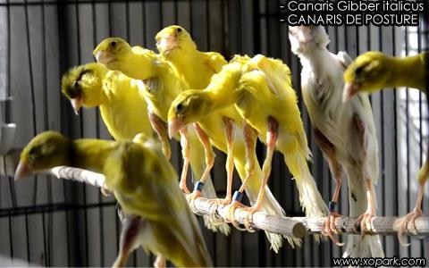Canaris Gibber italicus – CANARIS DE POSTURE – xopark7