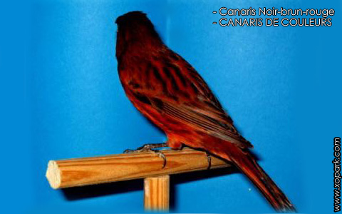 Canaris Noir-brun-rouge – CANARIS DE COULEURS – xopark1