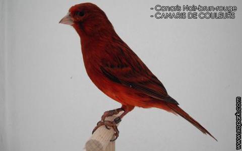 Canaris Noir-brun-rouge – CANARIS DE COULEURS – xopark4