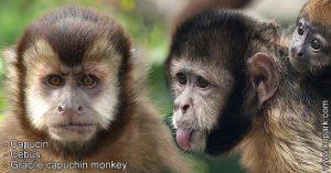 Capucin - Cebus - Gracile capuchin monkey - xopark