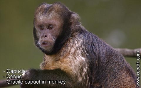 capucin-cebus-gracile-capuchin-monkey-xopark1