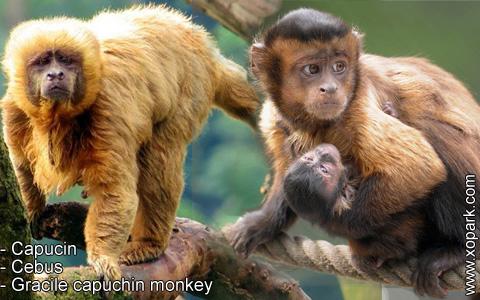 capucin-cebus-gracile-capuchin-monkey-xopark10
