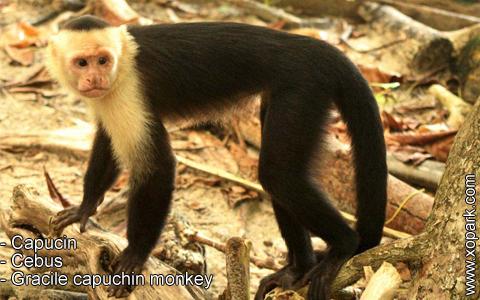capucin-cebus-gracile-capuchin-monkey-xopark4