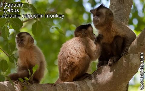 capucin-cebus-gracile-capuchin-monkey-xopark5