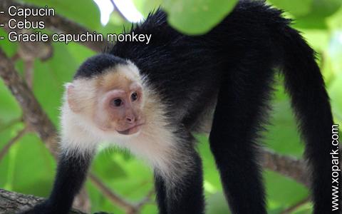 capucin-cebus-gracile-capuchin-monkey-xopark6
