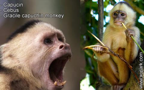 capucin-cebus-gracile-capuchin-monkey-xopark7