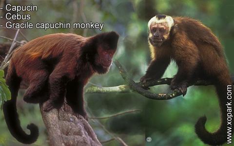 capucin-cebus-gracile-capuchin-monkey-xopark8
