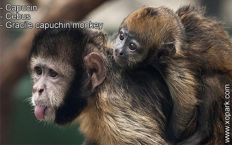 capucin-cebus-gracile-capuchin-monkey-xopark9