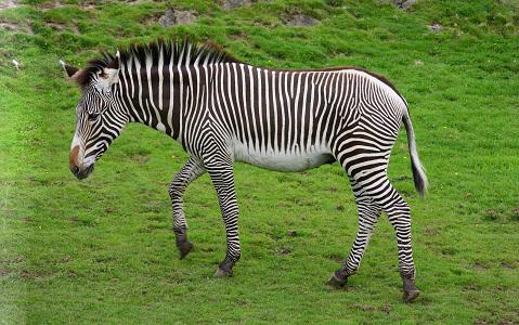 Equus-grevyi-Zèbre-de-Grévy-Zèbre-impérial-xopark7