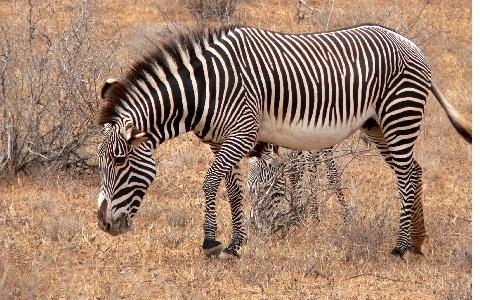 Equus-grevyi-Zèbre-de-Grévy-Zèbre-impérial-xopark8