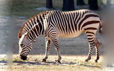 Equus-grevyi-Zèbre-de-Grévy-Zèbre-impérial-xopark9