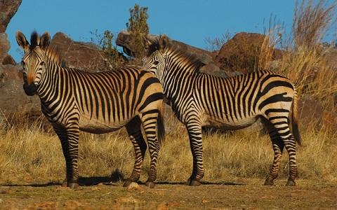 Equus-hartmannae-Equus-zebra-hartmannae-zèbre-de-Hartmann-xopark1
