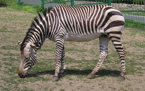 Equus-hartmannae-Equus-zebra-hartmannae-zèbre-de-Hartmann-xopark2