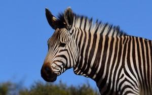 Equus hartmannae