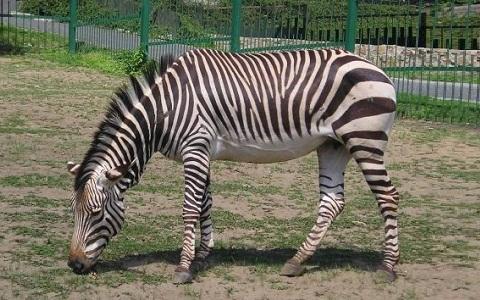 Equus-hartmannae-Equus-zebra-hartmannae-zèbre-de-Hartmann-xopark6