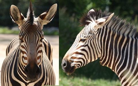 Equus-hartmannae-Equus-zebra-hartmannae-zèbre-de-Hartmann-xopark7