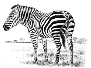 Equus quagga (Zebra Plains - Zèbre de Burchell )