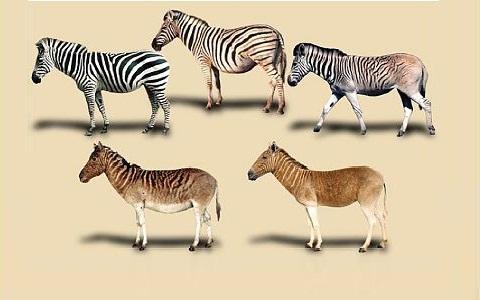 Equus-quagga-Zebra-Plains-Zèbre-de-Burchell-xopark2