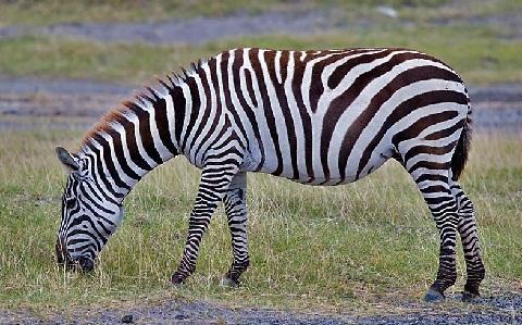 Equus-quagga-Zebra-Plains-Zèbre-de-Burchell-xopark3