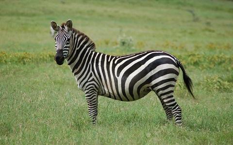 Equus-quagga-Zebra-Plains-Zèbre-de-Burchell-xopark4