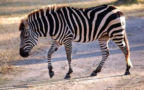 Equus-quagga-Zebra-Plains-Zèbre-de-Burchell-xopark5