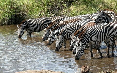 Equus-quagga-Zebra-Plains-Zèbre-de-Burchell-xopark6