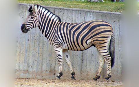 Equus-quagga-Zebra-Plains-Zèbre-de-Burchell-xopark8