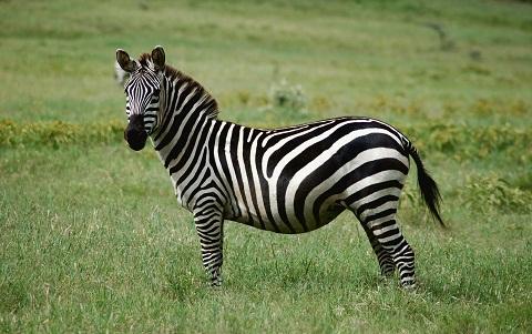 Equus quagga (Zebra Plains – Zèbre de Burchell )