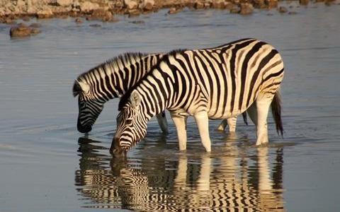 Equus-quagga-Zebra-Plains-Zèbre-de-Burchell-xopark9